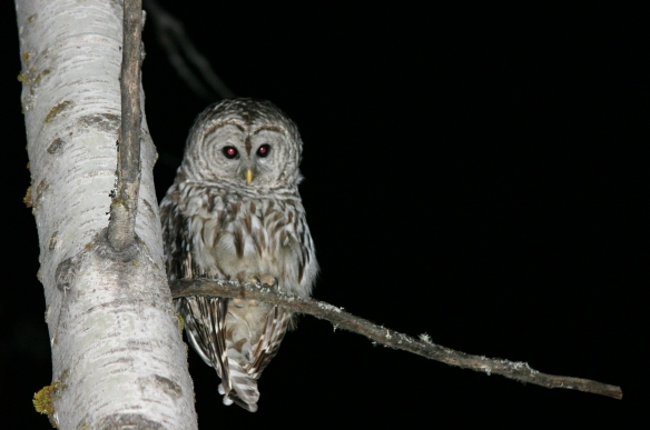 Owl_at_Night