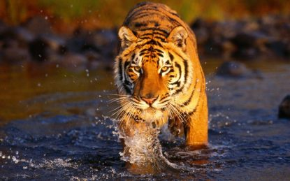 bengal-tiger-in-the-water_179286-1920x1200